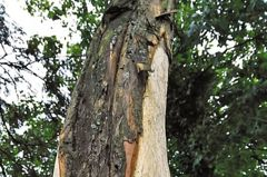 樹皮可抗癌? 中國國寶紅豆杉遭活剝瀕死