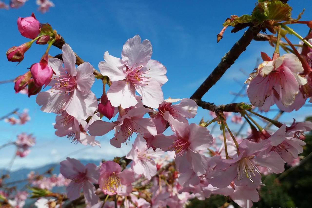 藤枝山區櫻花綻放 高雄人賞櫻花可來這裡