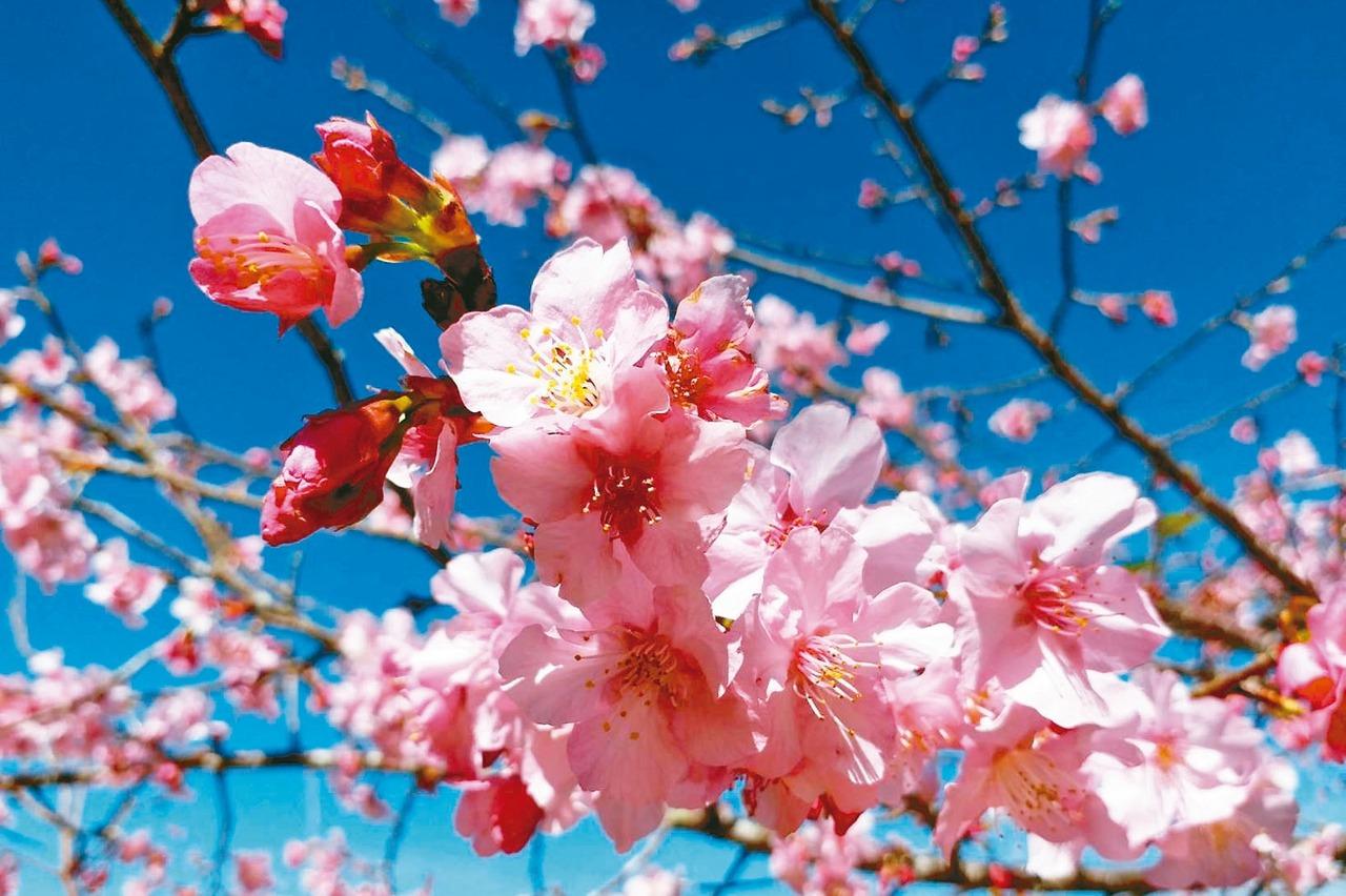 好美!高雄「桃源」櫻花綻放 農曆年都是賞花期