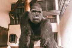 飛荷蘭當種男 金剛猩猩寶寶將說Bye