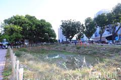 台灣平地最老最大茄苳 中市花16億護樹動土