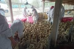 用染病家禽自製禽流感偽藥 不法獲利逾2千萬「可惡至極」