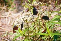 林內紫斑蝶季開幕