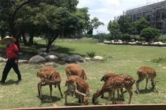 鹿港鎮鹿園5頭母鹿複驗 都很健康