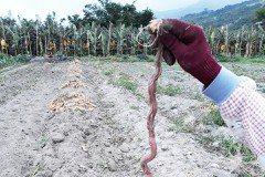 稀奇!台東農民田裡竟生出一條地瓜蛇及地瓜鼠.....