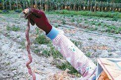 地瓜田出「蛇鼠」 網友:田太營養了