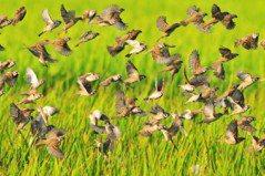 環團建議:鳥擊嚴重路段 用護網、聲波驅鳥