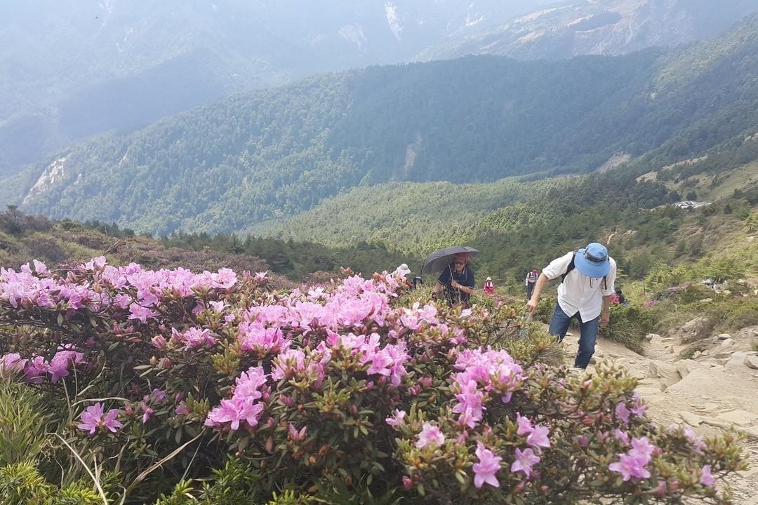合歡北峰杜鵑盛開 追花遊客擠滿山徑