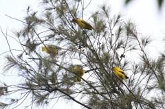 八德大湳森林公園 一次拍到4隻瀕絕黃鸝鳥