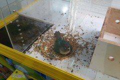 繼龍蝦、螃蟹後 這次夾娃娃機內竟出現活「鸚鵡」