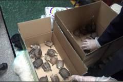 走小三通!高雄關查獲走私保育類陸龜32隻