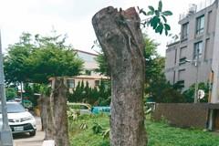 市場榕樹被斷頭 中市:請遵守SOP
