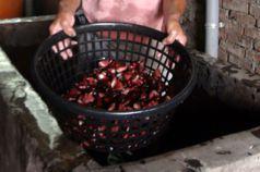 影/福壽螺吃剩的就是咱們的 菱角產業獨剩老農苦撐
