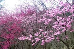 武陵農場櫻花季 11月1日開放訂房