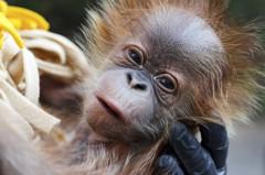 破壞紅毛猩猩棲息地 Oreo餅乾製造商成環團箭靶
