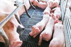中國冷凍水餃現豬瘟 專家:不排除病死豬流入