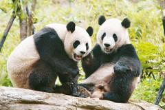 友好象徵 中國貓熊外交曾具高度政治意義