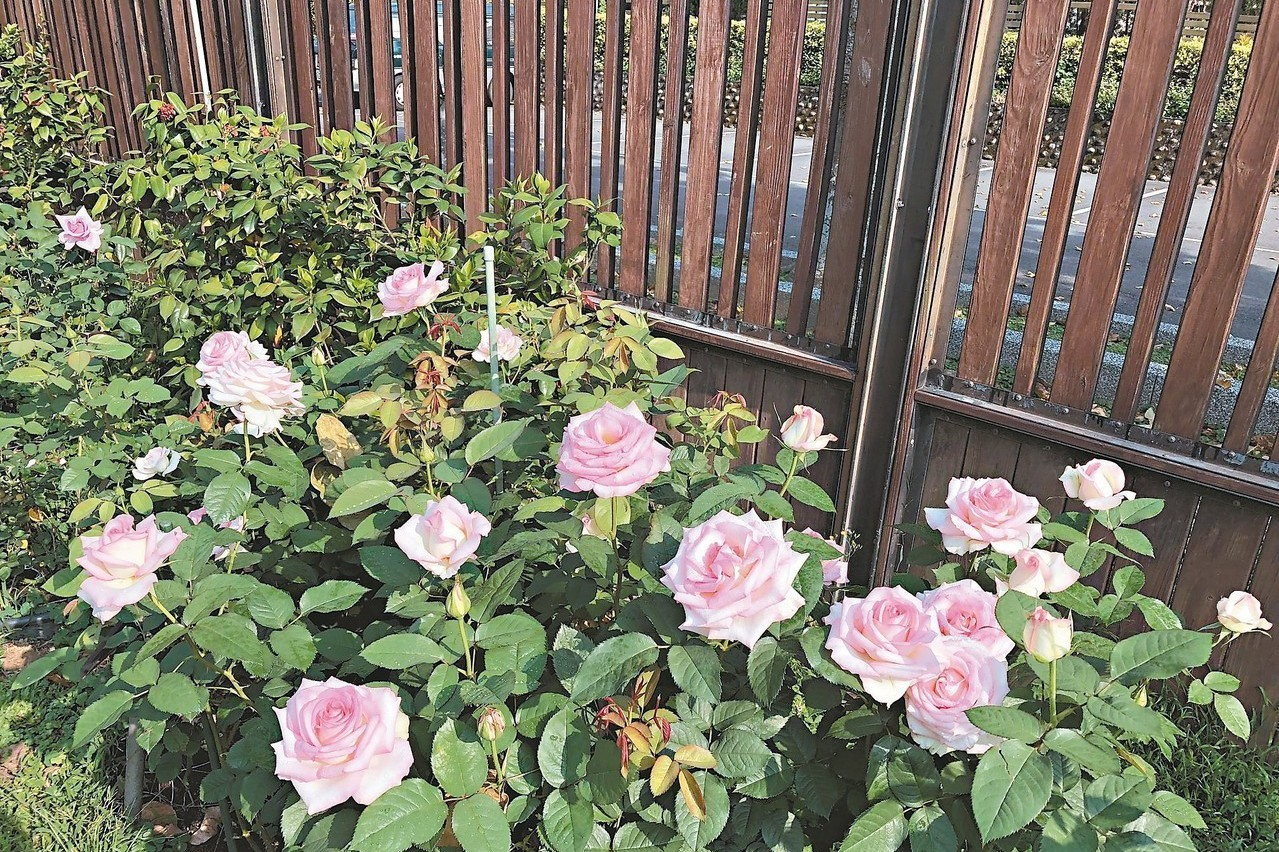 台北玫瑰展22日登場 咖啡請客