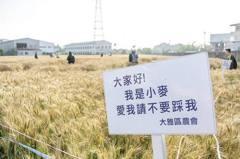 大雅小麥田供民眾拍照打卡 卻被無情「踩扁」