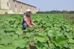 降雨不足 台南佳里牛蒡今年減產約4成