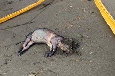 竹圍沙灘死豬感染非洲豬瘟? 動保處:泡水腐壞驗不出