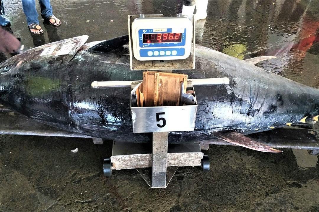 屏東今年最大黑鮪魚396公斤 漁民:在早年算小的