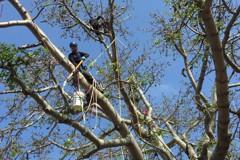 木棉樹棉絮成過敏源 林務所找「攀樹師」解決難題