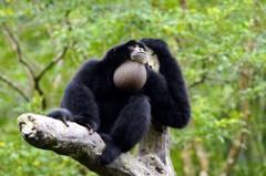 動物園大長臂猿家族 加入法國小鮮肉