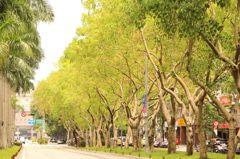菩提樹四季變裝 北市仁愛路現正是青翠綠廊