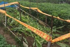 桃園首件秋行軍蟲體獲確認 在家庭式玉米田