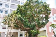 新北樹林藝文大樓 與50年老樹共存