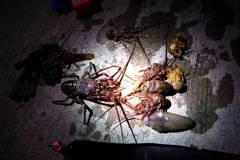 影/潛水客違規抓6龍蝦摸黑上岸 附近起火巧撞岸巡被逮