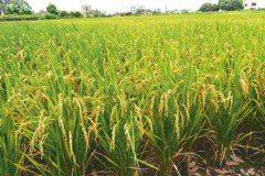 公糧收購量創新高…補貼拉高穀價 米糧界憂3輸