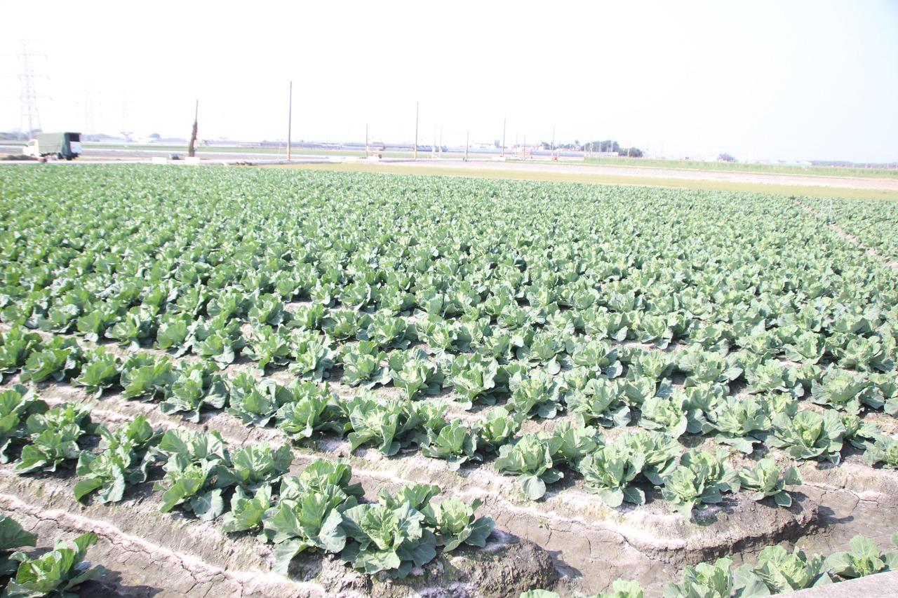 全台高麗菜種苗超量亮紅燈 農民:忘不了寒流的好價格