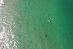 影/無人機警告「鯊魚!」 澳洲衝浪客逃過一劫