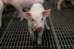 美中10月貿易談判前 傳中國釋出善意加碼購買美豬
