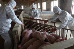 工程院士李德發:非洲豬瘟對中國直接損失已逾1兆