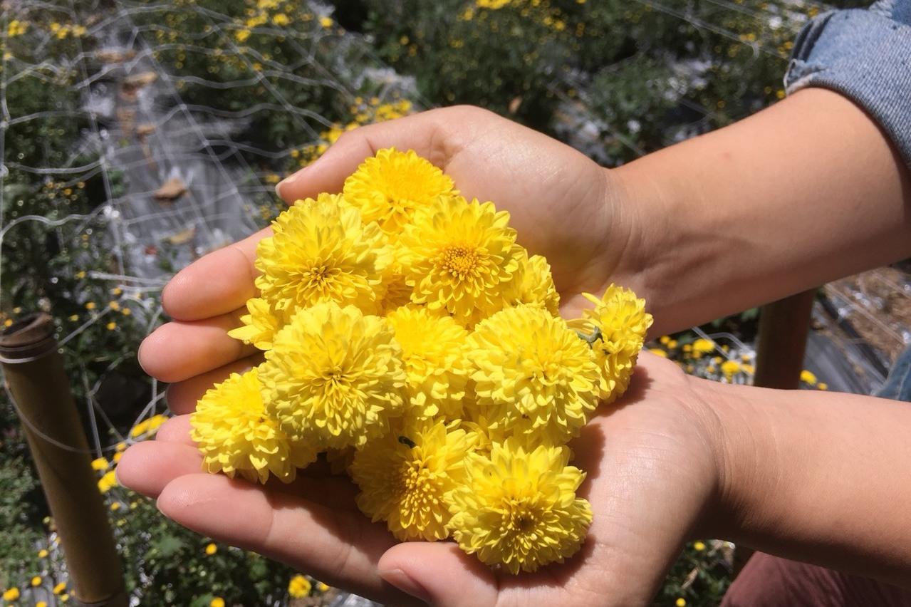清境600坪杭菊園亮麗盛綻 快上山來當「一日花農」
