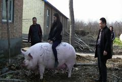 大如北極熊!非洲豬瘟後遺症 中國農家流行養「巨豬」