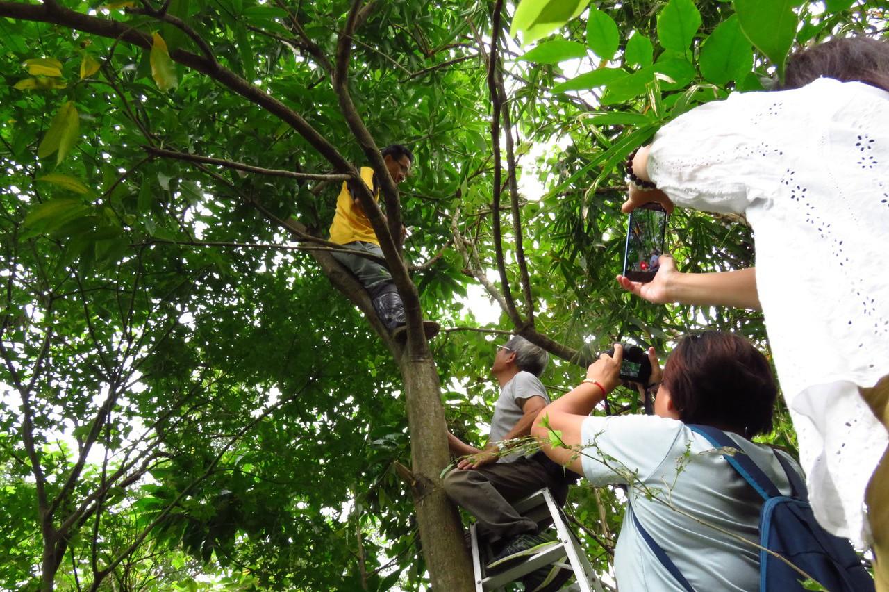 影/國內發現新蝴蝶 幼蟲吃芒果樹葉應不至造成農損