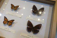 興大百年校慶「興潮蝶起」 特展3件珍貴絕跡蝴蝶標本