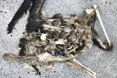 海鳥天堂變墳場!中途島海鳥屍體 露出各種塑膠垃圾