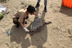 影/驚!一次2隻 苗栗後龍海岸驚見保育類綠蠵龜雙亡