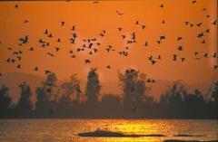 金門鸕鶿大軍來了! 看萬鳥歸巢