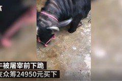影/母牛被宰殺前下跪流淚 感動網友眾籌解救