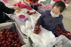 克服疫情的阻礙 高雄蜜棗與木瓜與蓮霧出口大陸