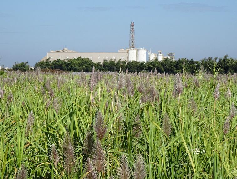 一望無際的「蔗花田」!嘉義高鐵大道的甘蔗花海 季節限定特色風景