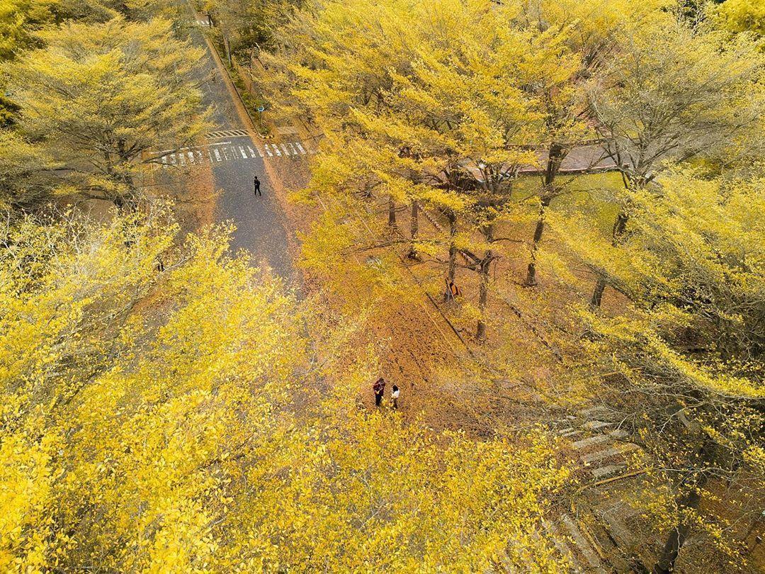 秒飛韓國南怡島!全台最美校園飄下「黃金雨」 嘉義限定三色落葉好浪漫