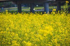 1300坪「油菜花海」炸開!金黃地毯隨風搖 捷運就能到