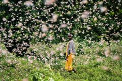 重磅廣播/從「蝗災概念股」到「雞鴨治蝗」:中國阻擊東非的滅蝗作戰?